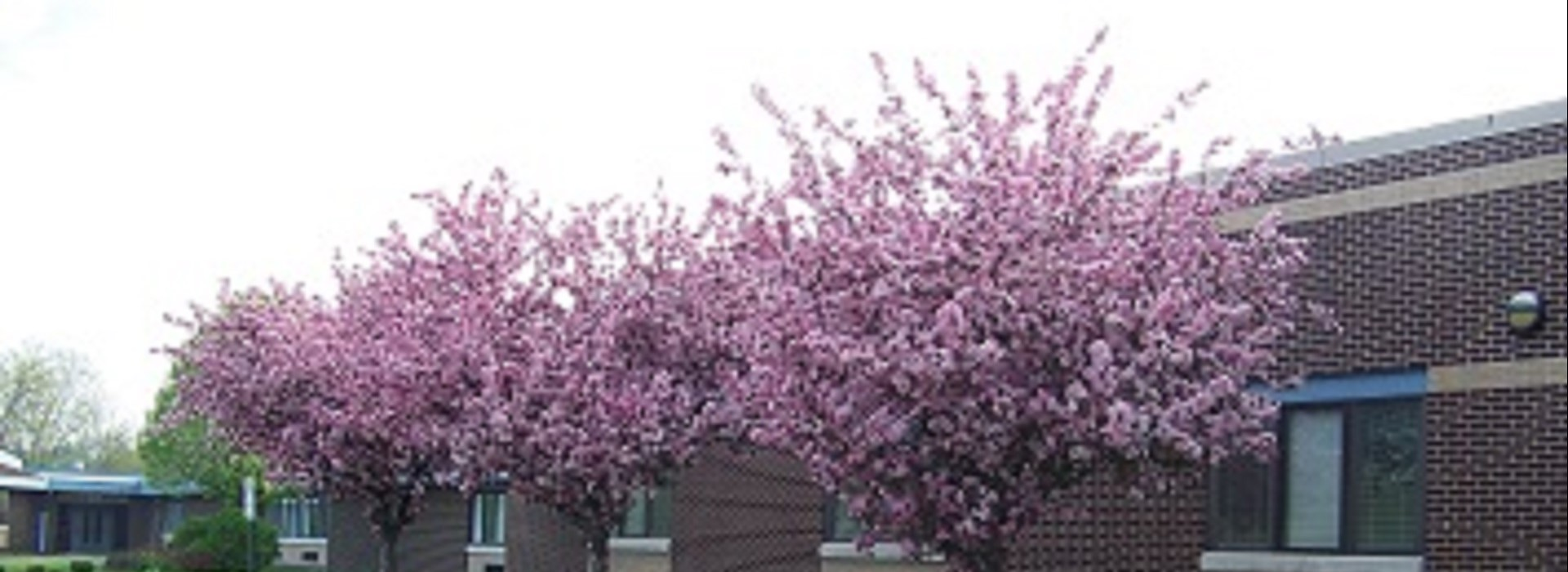 Crab-apple trees in bloom